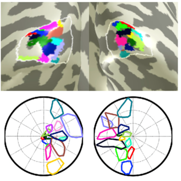Clusters in visual cortex