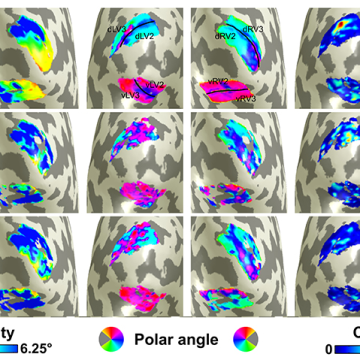 Organisation of visual cortex from resting state – visuotopic maps